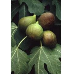 Msa Ficus Carica 50ml